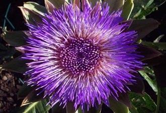 artichoke_flower1.aspx